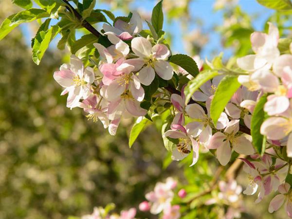 floare-de-mar pomifructiferi-ciumbrud.ro