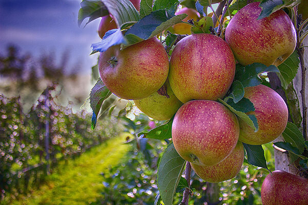 pomi fructiferi ciumbrud gradina